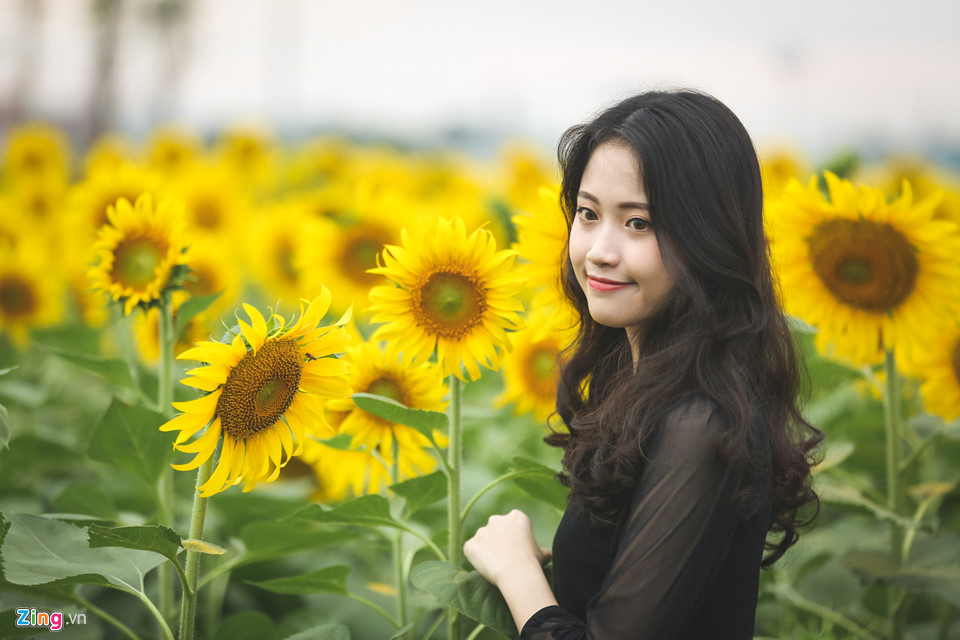 Vườn hoa hướng dương thu hút nhiều khách hàng